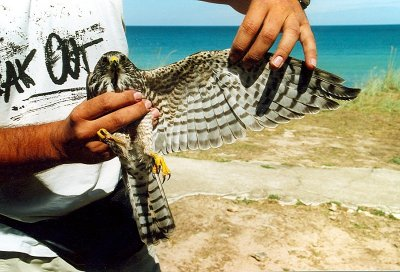 Sparrowhawk inhand blacksea