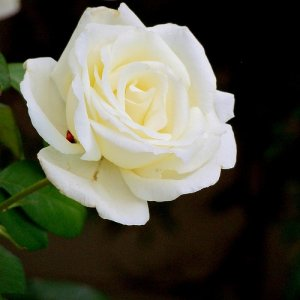 White Winter Rose