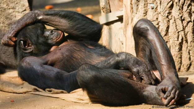 This bonobo is doing what you think it's doing (Credit: blickwinkel/Alamy Stock Photo)