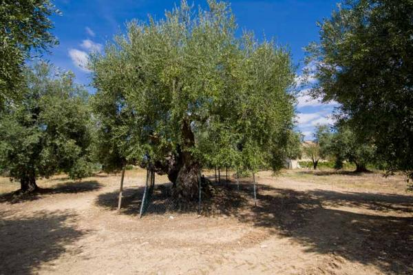"Magliano in Toscana, Tuscany, Italy: the Ulivo della Strega (""Witch's Olive Tree""), about 3,500 years old."